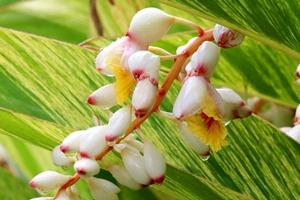 石垣島産月桃